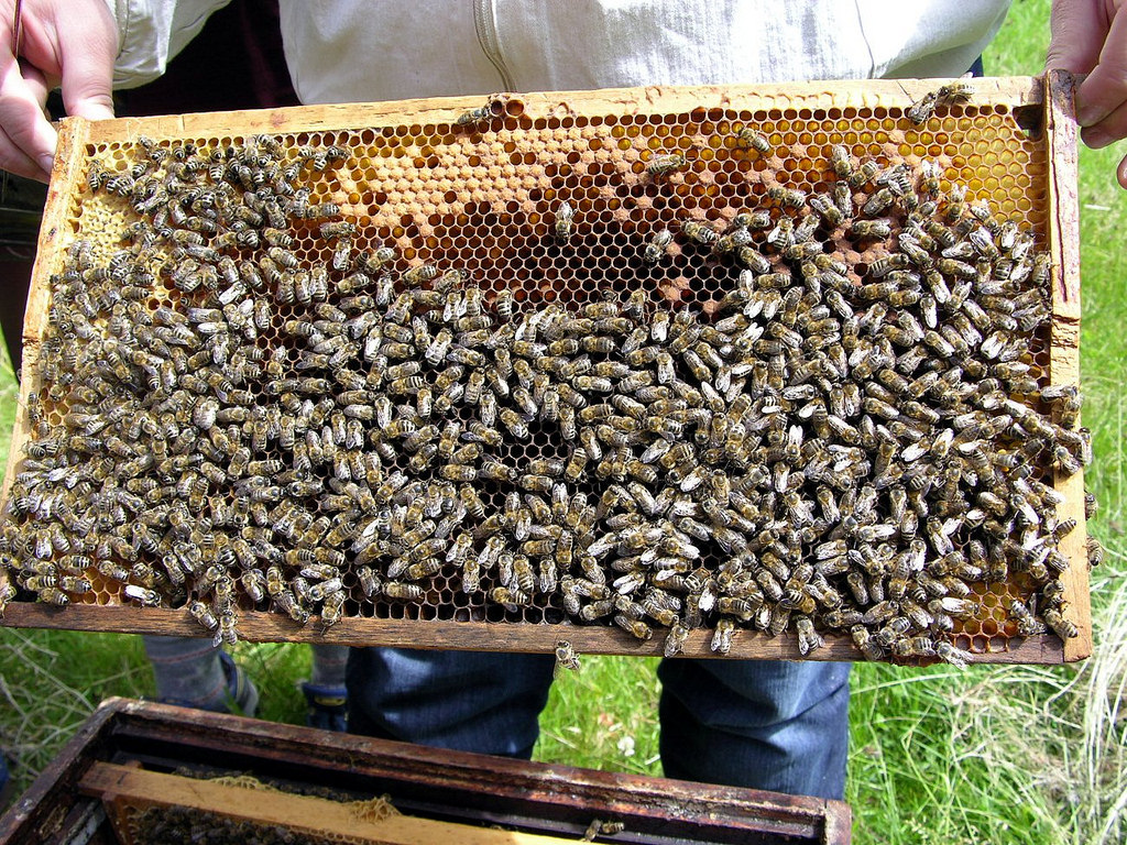 tray of bees from a hive